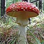 1 Ounce Grade A Latvian Amanita Muscaria
