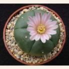 1: 3-3.5cm Live Peyote